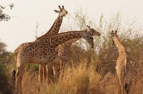 Giraffes in South Luangwa