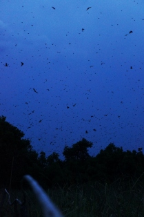 Bats in flight at Kasanka National Park