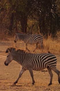 South Luangwa National Park, September 2013